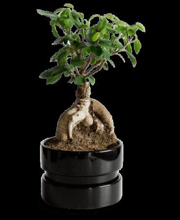 bonsai-schwarz