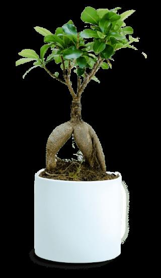 bonsai-weiss